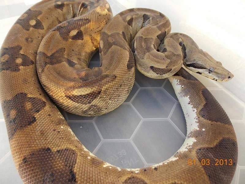 Pure Reptiles UK | Collection