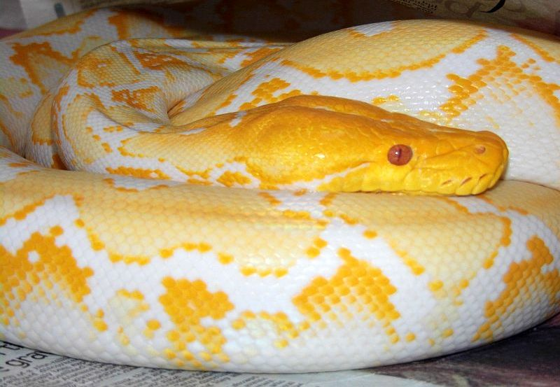 White reticulated python