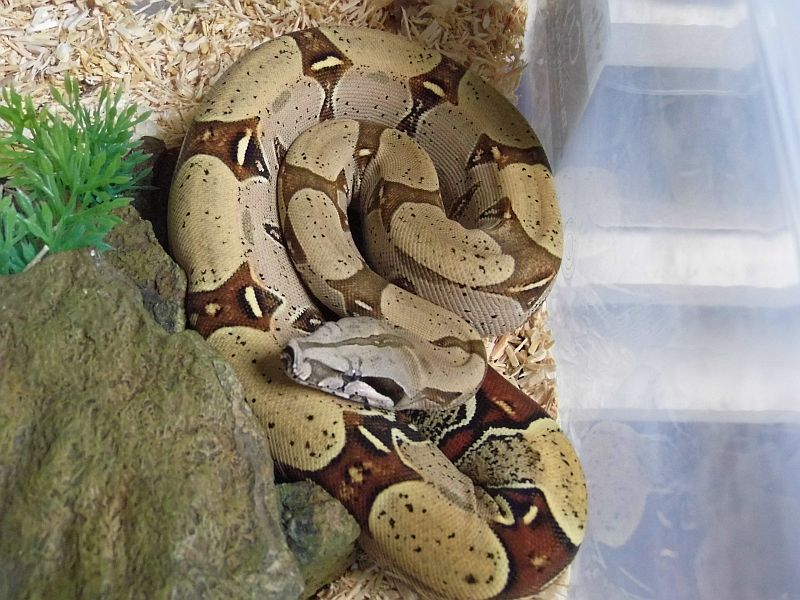 Pure Reptiles UK   Collection